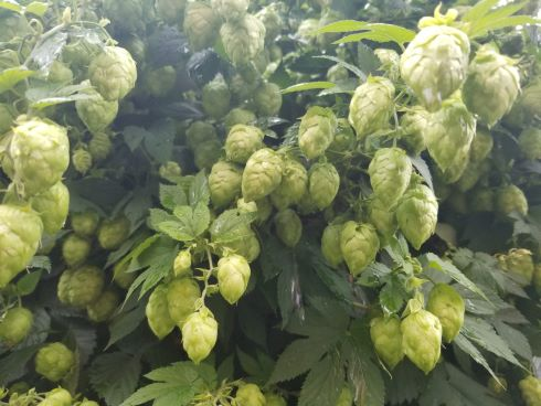 Hops At Red Collar Brewing